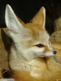 Fennec Fox cute ears lying down
