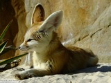 Fennec Fox cute ears majestic Vulpes zerda