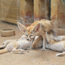 Fennec Fox cute ears mother nursing cubs