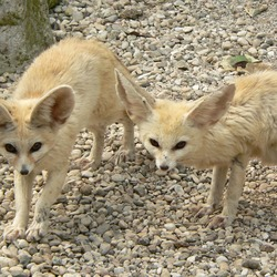 Fennec Fox cute ears pair Foxes