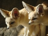 Fennec Fox cute ears pair Vulpes zerda