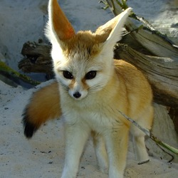 Fennec Fox cute ears pup Vulpes zerda