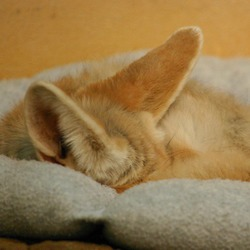 Fennec Fox cute ears pup cub sleeping