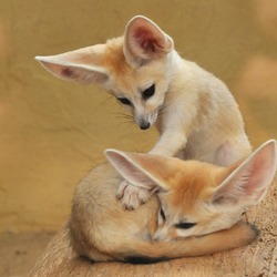 Fennec Fox cute ears pups playing