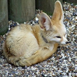 Fennec Fox cute ears sahara Africa