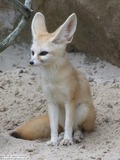 Fennec Fox cute ears sitting Vulpes zerda