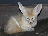 Fennec Fox cute ears sleep Cincinnati Zoo