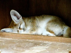 Fennec Fox cute ears sleeping Vulpes zerda (2)
