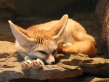 Fennec Fox cute ears sleeping Vulpes zerda
