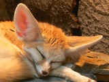 Fennec Fox cute ears sleeping Wilhelma Zoo