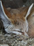 Fennec Fox cute ears sleeping image