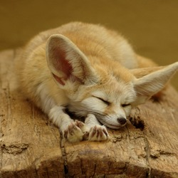 Fennec Fox cute ears sleeping sahara