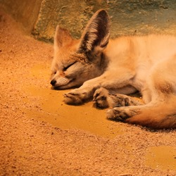 Fennec Fox cute ears tired Vulpes zerda