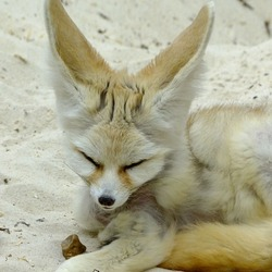 Fennec Fox cute ears tired picture