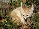 Fennec Fox cute ears tired zoo