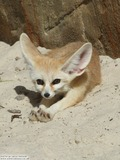 Fennec Fox cute ears tires photo