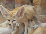 Fennec Fox cute ears zoo family