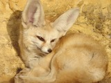 Fennec Fox cute ears zoo