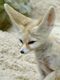 Fennec Fox cute huge ears Vulpes zerda