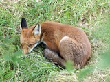 Red Fox  sleeping (Vulpes vulpes)