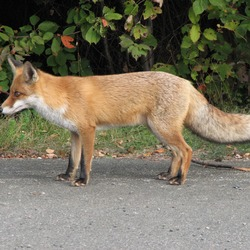 Red Fox (Vulpes vulpes) profile Fuchs