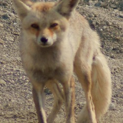 Red Fox Arabian photo