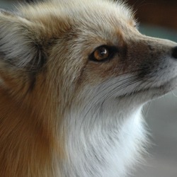 Red Fox Fuzzyface portrait