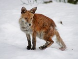 Red Fox Mangy wild (Vulpes vulpes)