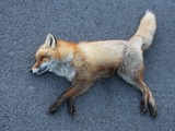 Red Fox Norwegian dead