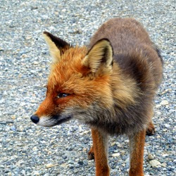 Red Fox Rossa (Vulpes vulpes)