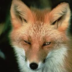 Red Fox Vulpes vulpes face
