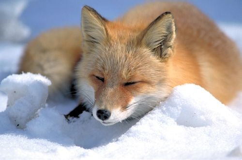 Red Fox Vulpes vulpes laying snow