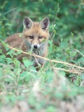 Red Fox Vulpes vulpes pup