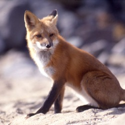 Red Fox Vulpes vulpes sitting