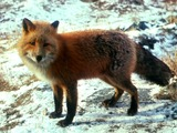 Red Fox Vulpes vulpes standing snow