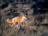 Red Fox Vulpes vulpes standing