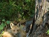 Red Fox awake (Vulpes vulpes)