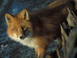 Red Fox eyes Vulpes vulpes shipwreck