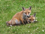 Red Fox family couple