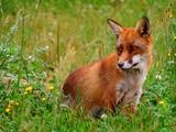 Red Fox grass(Vulpes_vulpes)