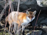 Red Fox hiding Vulpes vulpes
