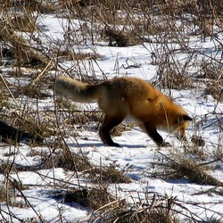Red Fox hunting foxx