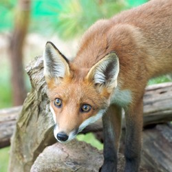 Red Fox log (Vulpes vulpes)