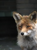 Red Fox portrait vulpes face