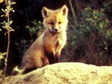 Red Fox pup cub  sitting stone