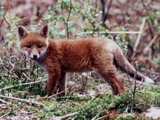 Red Fox pup forest Haute Normandie