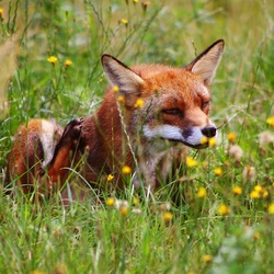 Red Fox scratching(Vulpes_vulpes)