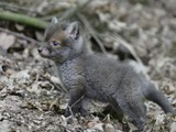 Red Fox tiny cub