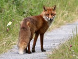 Red Fox trail vulpes vulpe