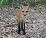 Red Fox Photo Gallery
